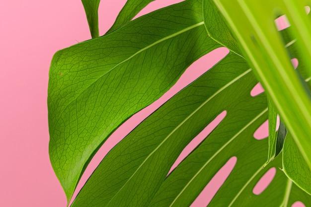 Текстура листьев монстеры крупным планом на розовом фоне пастельных