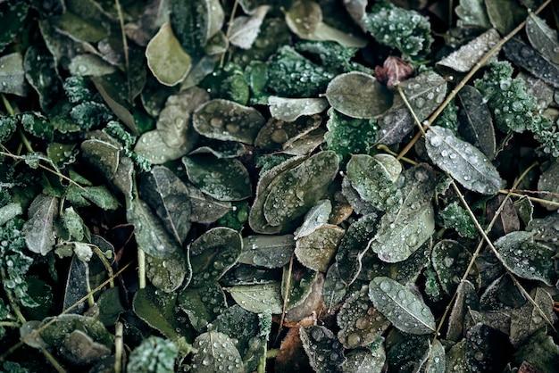 冷凍アカシアの葉のテクスチャ。抽象的な自然