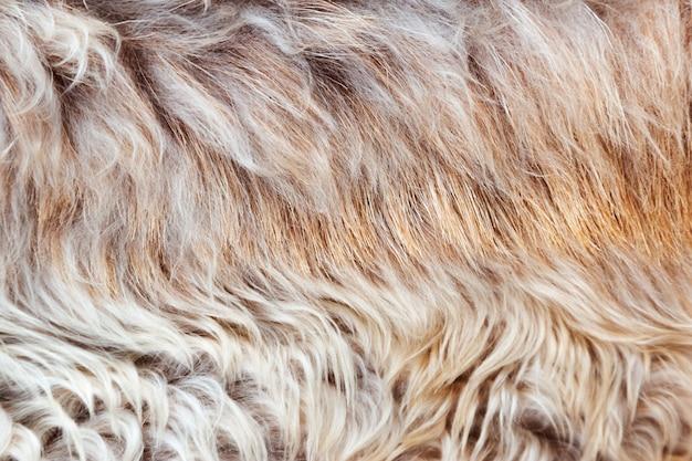 毛皮の質感、マクロ色の羊の毛の背景、天然のふわふわウール、毛皮のような表面、色をもたらす