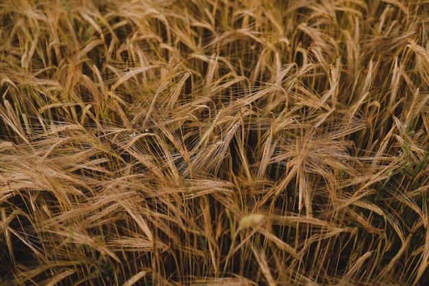 들판에서 자라는 황금 밀 작물의 질감