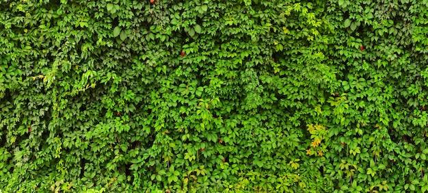 草や緑の生け垣ジュニパーブッシュの質感。背景エコパネルツタ