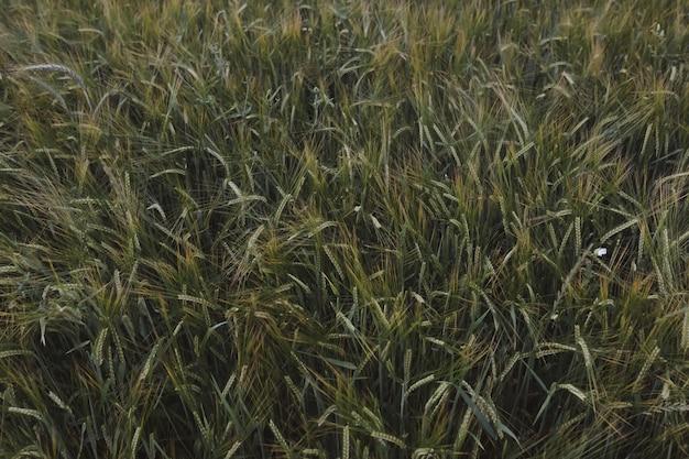들판에서 자라는 녹색 밀 작물의 질감