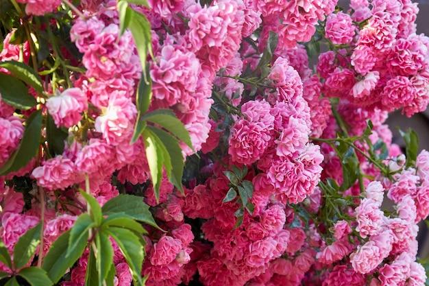 정원에 잎이 있는 많은 분홍색 다마스크 장미의 질감
