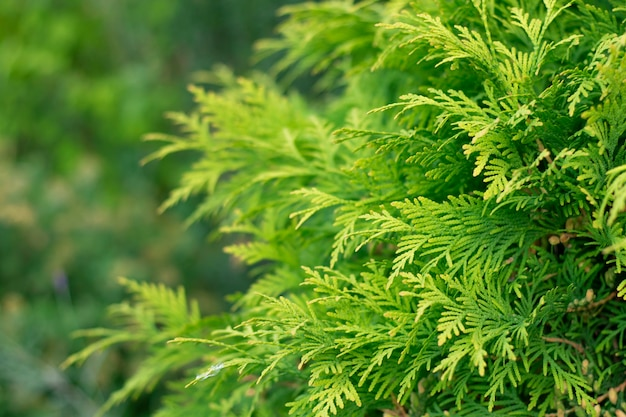 Текстура сосновой ветки хвойный кедр туя лист зеленая текстура свежие зеленые листья