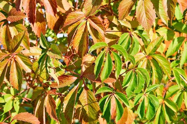 빨강 및 녹색 포도의 질감은 자연 배경으로 남습니다.