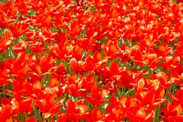 自然の背景として赤い花のチューリップの質感