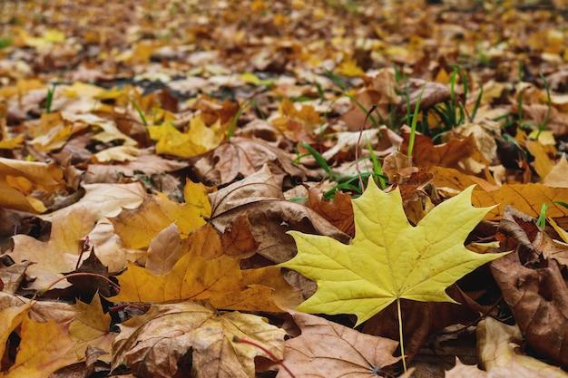 낙엽의 질감. 마른 단풍과 하나의 신선한 노란 잎.