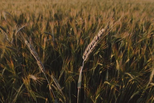 들판에서 자라는 밀 작물의 질감