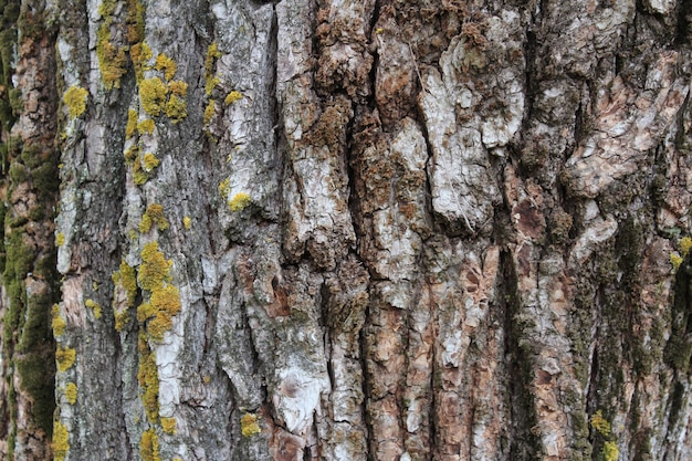 Texture of old tree bark with green moss and lichen. natural background