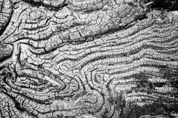 Texture of old wood black and white in nature that is water erosion for background