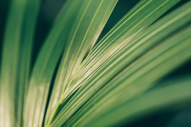 Texture of a palm tree leaf