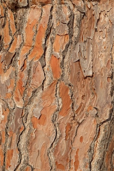 Texture pine tree bark, detailed shot.