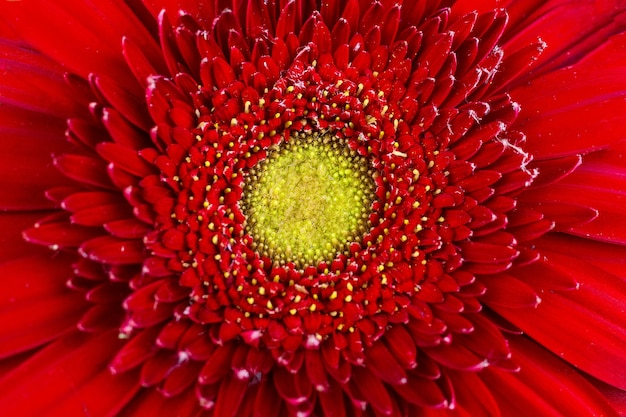 Texture of red gerbera