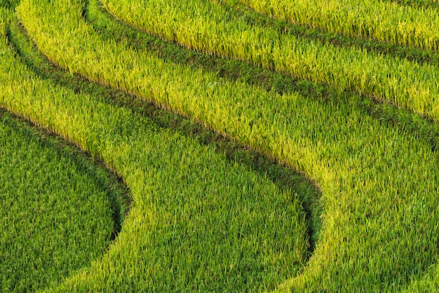 Texture rice terrace background