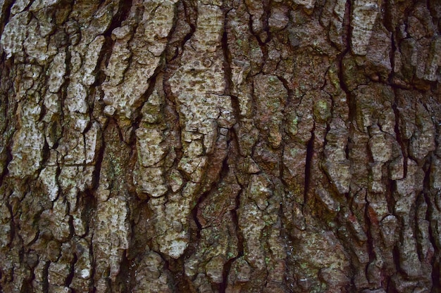 Texture of rough wooden bark of brown color of old tree on full frame