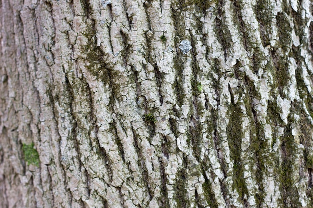 Texture of tree bark close-up. the rough skin of an old tree. natural wood background