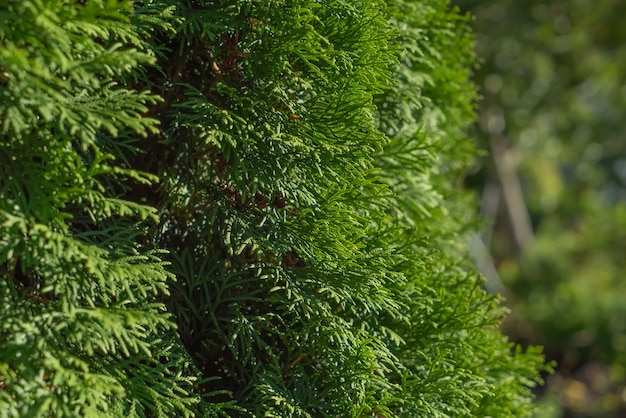 Textured background of green leaves and branches of thuja tree