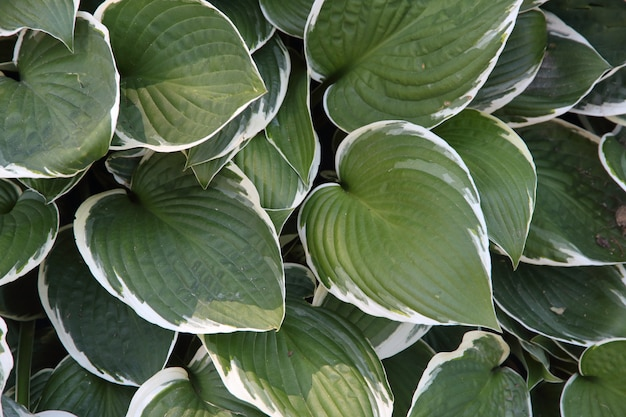 Textured background of green and white leaves