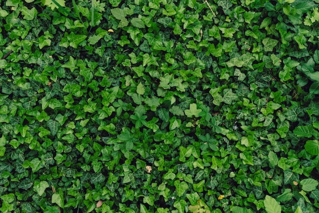 Textured natural background of many green leaves