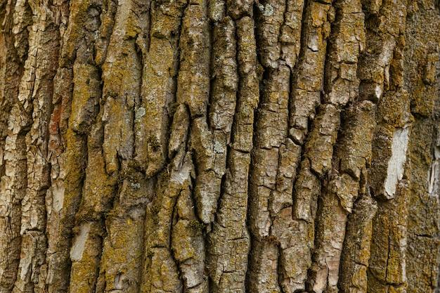 古いポプラの背景樹皮のテクスチャツリー樹皮の性質のクローズアップ