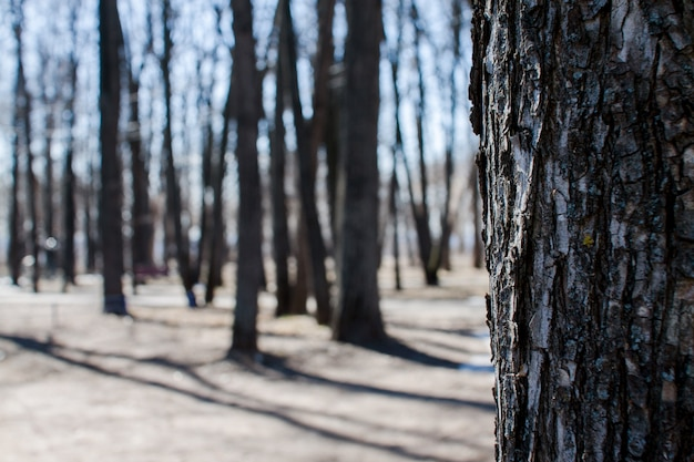 Textured tree trunks in spring park