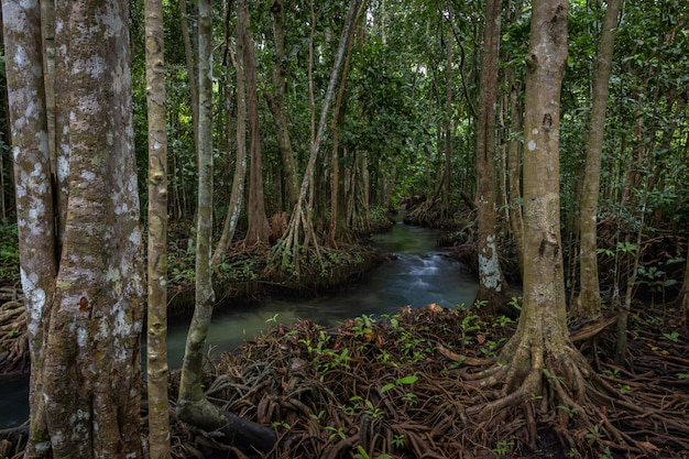 Thaポンポンマングローブ林、tha pomクローンソンナムエメラルドプールはクラビ、クラビ、タイのマングローブ林で目に見えないプールです。