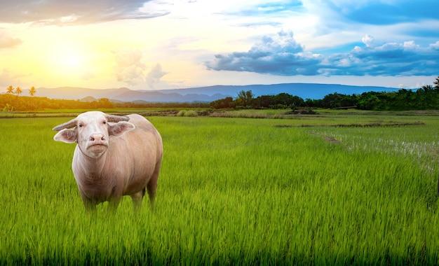 美しい空と雲のある水田の緑の米の苗の上に立つタイのアルビノバッファロー