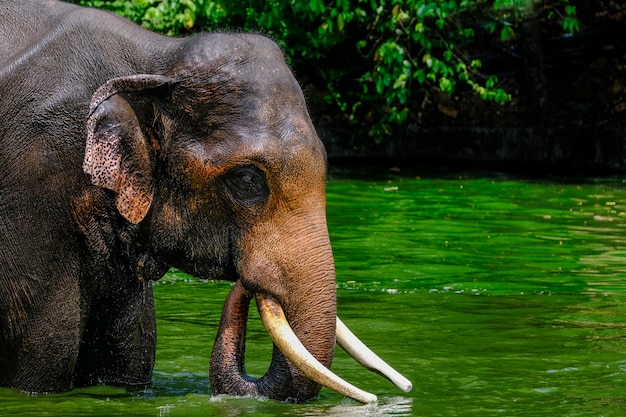 Thai, asian elephant playing in the water