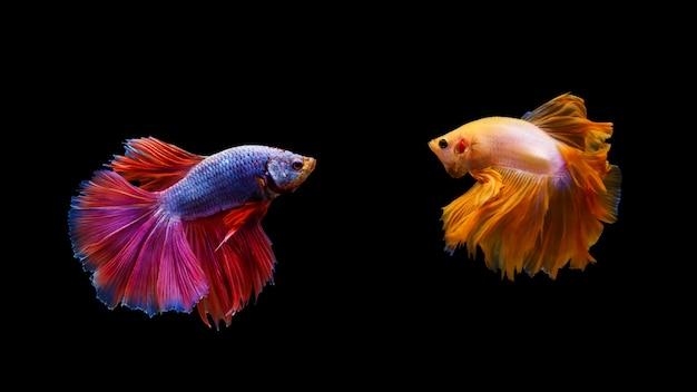 Thai betta fighting fishes