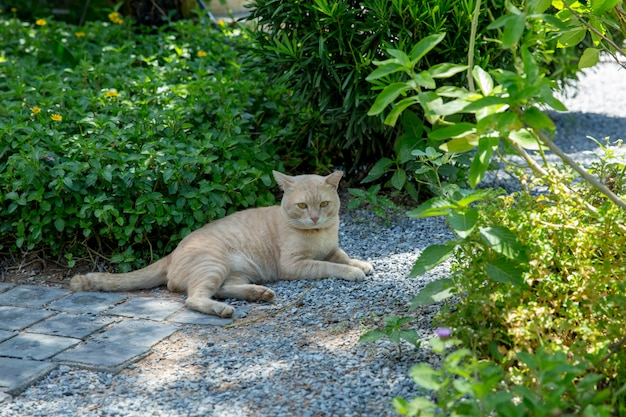Thai brown cat on the small rock floor