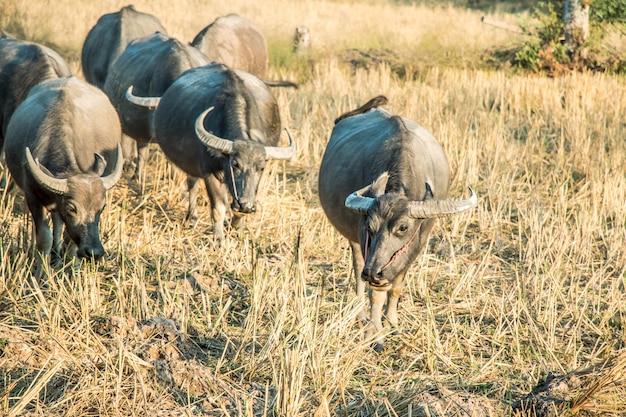 Thai buffalo, life' machine of farmer in thailand