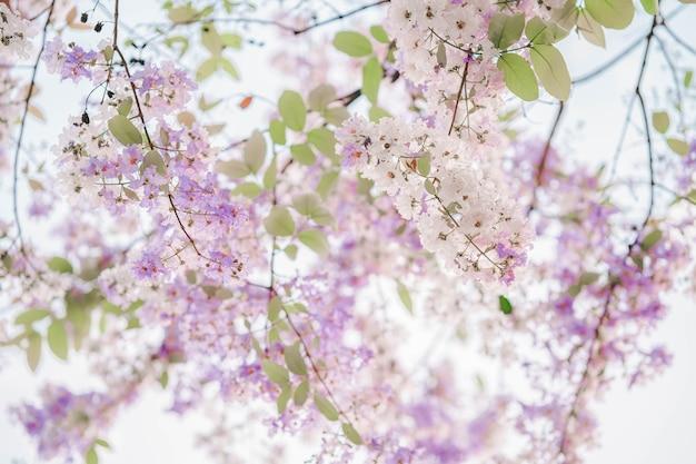 Тайский бунгор (lagerstroemiaoudonii teijsm) в таиланде красивые цветы белого и фиолетового цвета. популярно сажать вдоль дорог в провинции накхон саван.