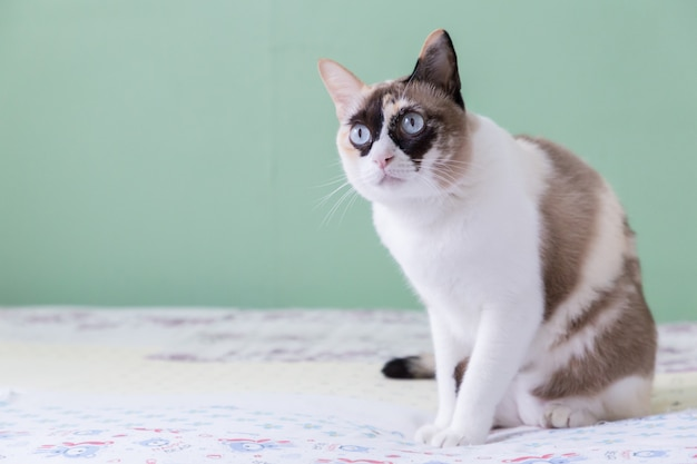 Thai cat blue eyed lying on bed look at camera with green color background.
