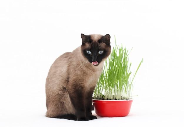 Тайский кот ест траву и облизывает губы. трава, витамины и корм для домашней кошки. уход и кормление домашних животных.