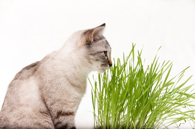Thai cat eats grass food and vitamins