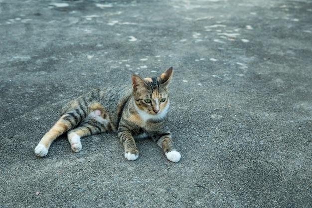 시멘트 바닥에 태국 고양이
