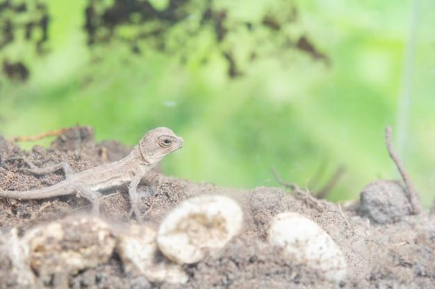 Thai chameleon on the ground. reborn on the soil.
