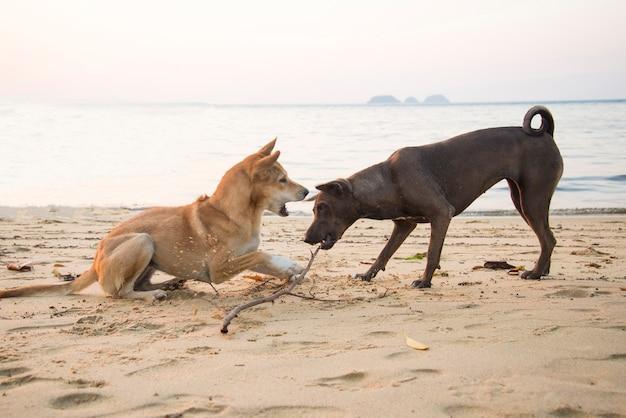 Тайская собака пара борется на пляже в вечернее время заката.