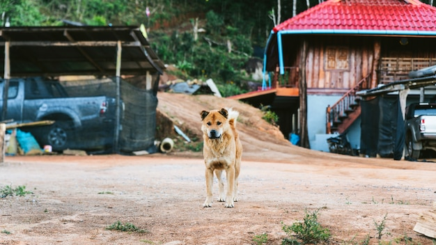 Thai dog standing and staring in the akha village of maejantai on the hill in chiang mai, thailand.