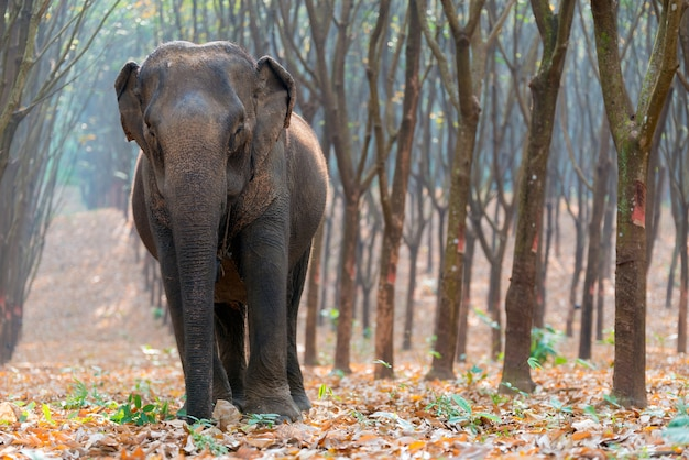 Thai elephant in a forest at kanchanaburi province, thailand