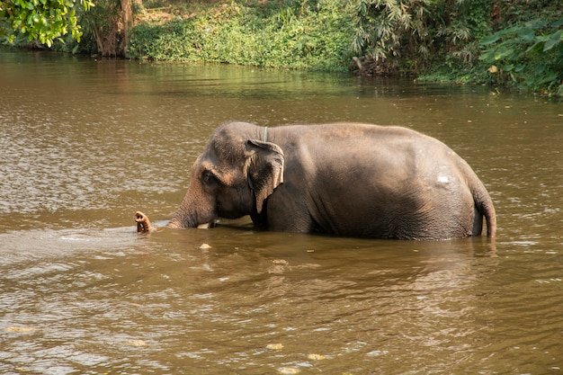 Thai elephant walking in the river.