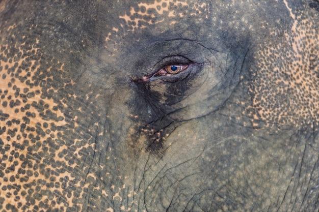 A thai elephant in the zoo, thailand.