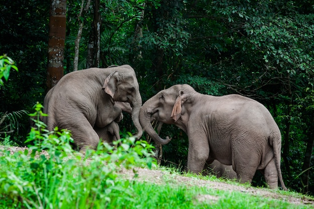 Thai elephants animals  in forest nature at khao yai
