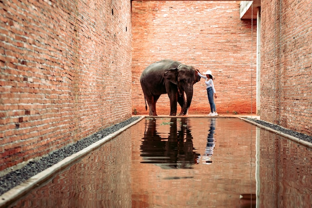 Thai elephants walking at the elephant learning center, surin province, thailand