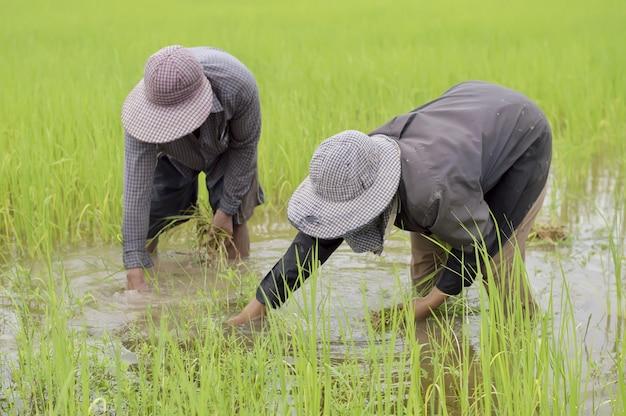 Thai farmer weeding weeds in the paddy field