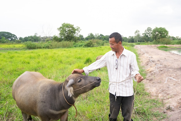 Thai farmer with his buffalo on green grass field in countryside