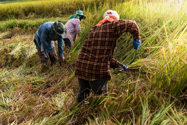 Thai farmers are harvesting rice in the fields, in the havest season.