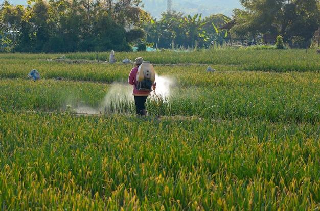태국 농부들이 야채 음모에 살충제를 뿌리고 있습니다