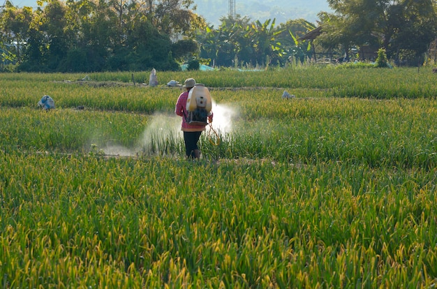 Thai farmers are spraying insecticides in vegetable plots