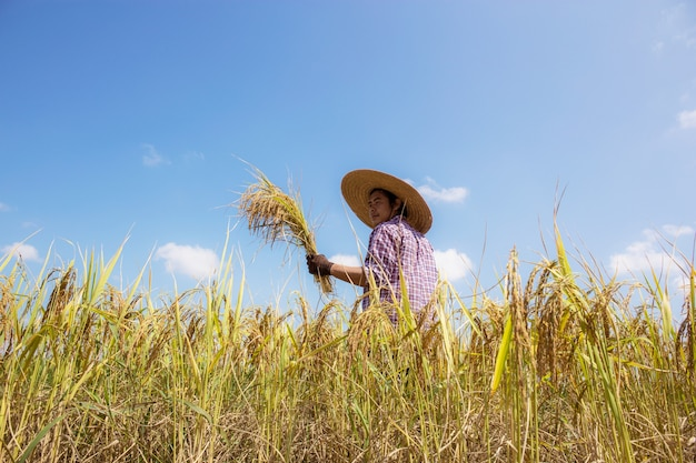 Thai farmers on rice fields with the blue sky.